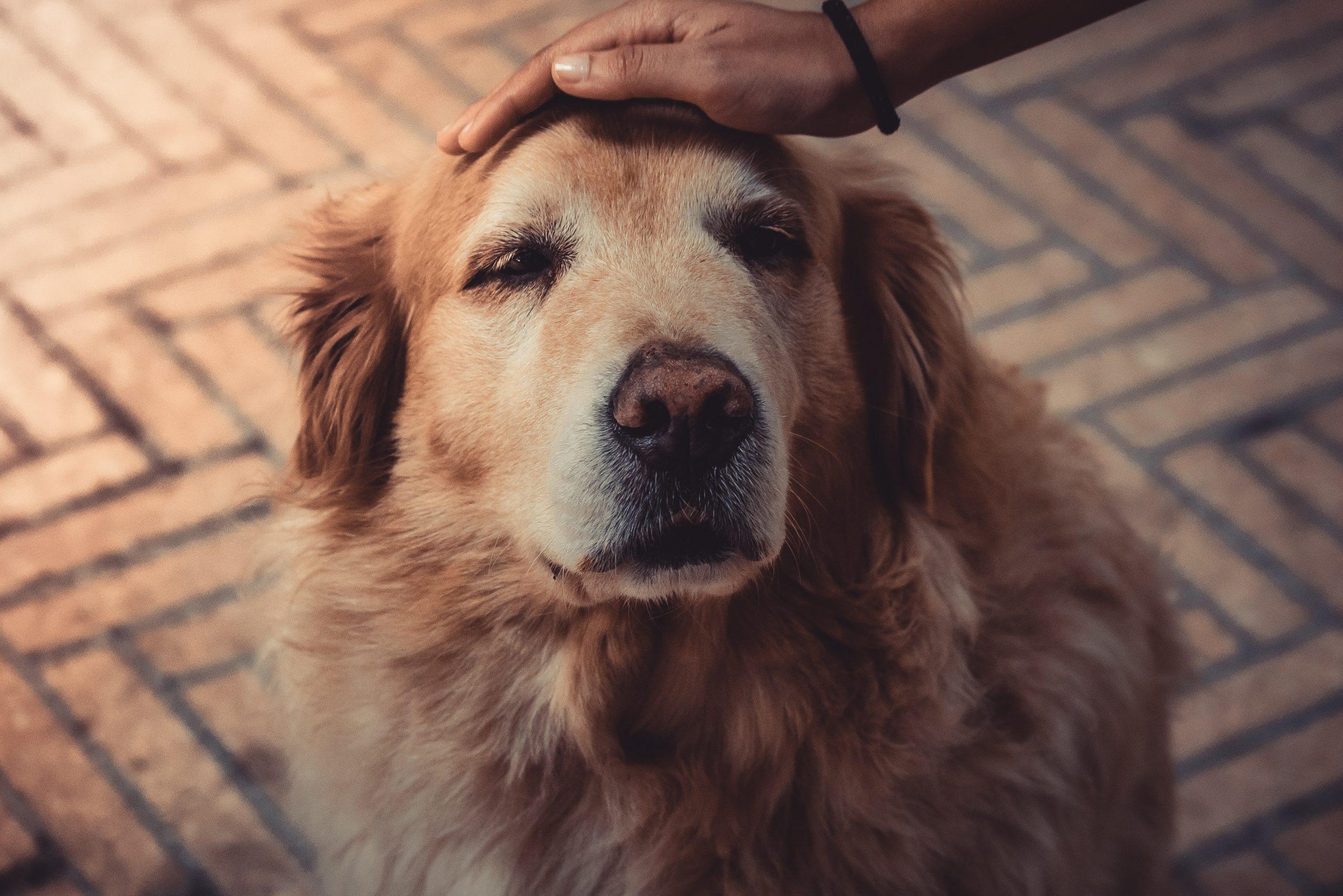 senior dogs make terrific companions
